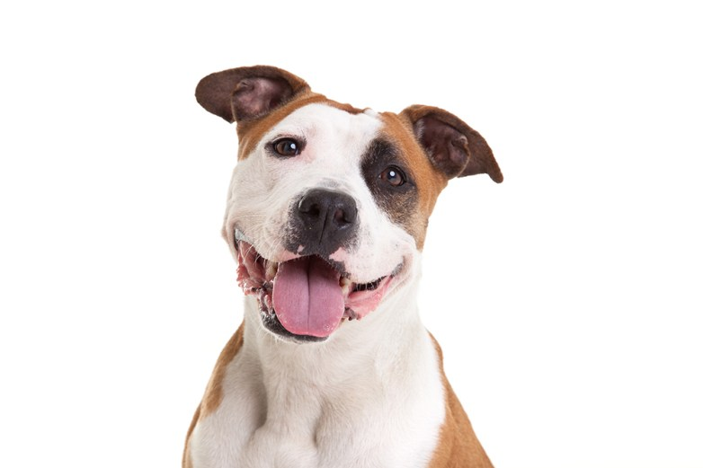 American Staffordshire Terrier Owiwi