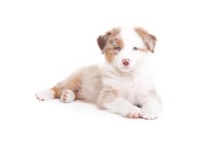 Australian Shepherd Puppy Owiwi