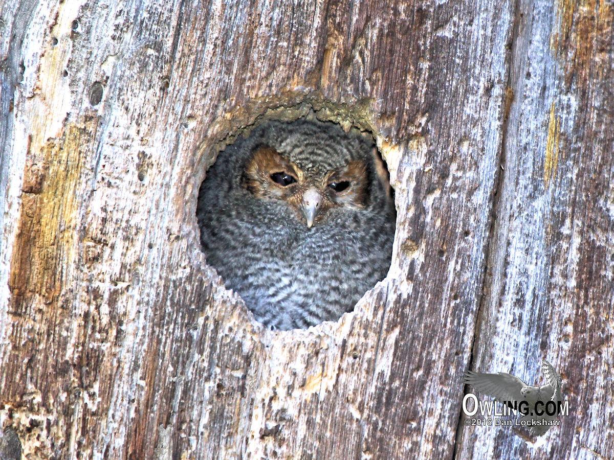 Flammulated Owl Biology