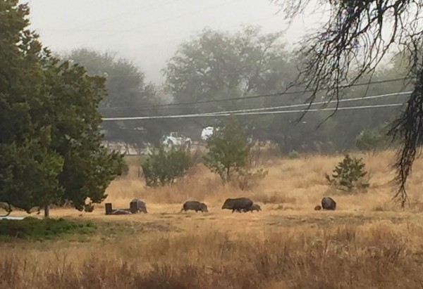 But the next morning? A herd of javelinas (see the baby?) next to our campsite!