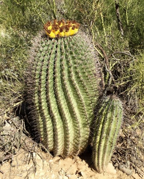 They come from the Fishhook Barrel Cactus.