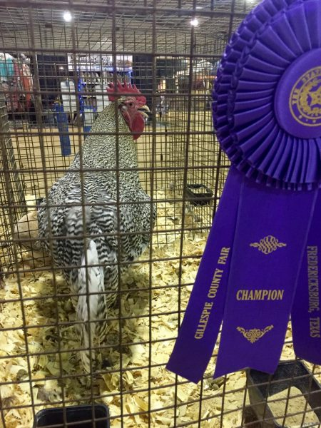 I took this photo for the sole purpose of being able to tell my husband I had a picture of a grand champion cock in my camera role. Because I am a juvenile. And he expects nothing less.