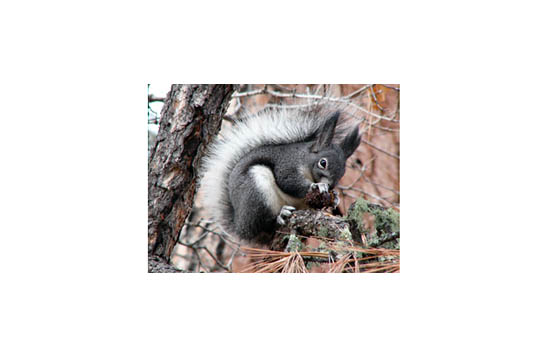Turns out they were Abert's Squirrels, common round these parts, but never before seen by either one of us. Freaky looking little buggers with those tufted ears and white tails! (Photo borrowed from enature.com; I wasn't fast enough to get one of my own.)