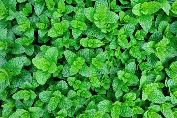 Plants that Repel Ticks: Top 10 Picks and Tricks! 2019: Own The Yard 18