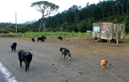 Coromandel, The 309 Road: Achtung freilaufende Schweine