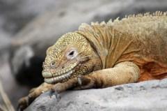 Galápagos, Santa Fe: Ein ziemlich fettes Exemplar eines Santa Fe Land Iguanas