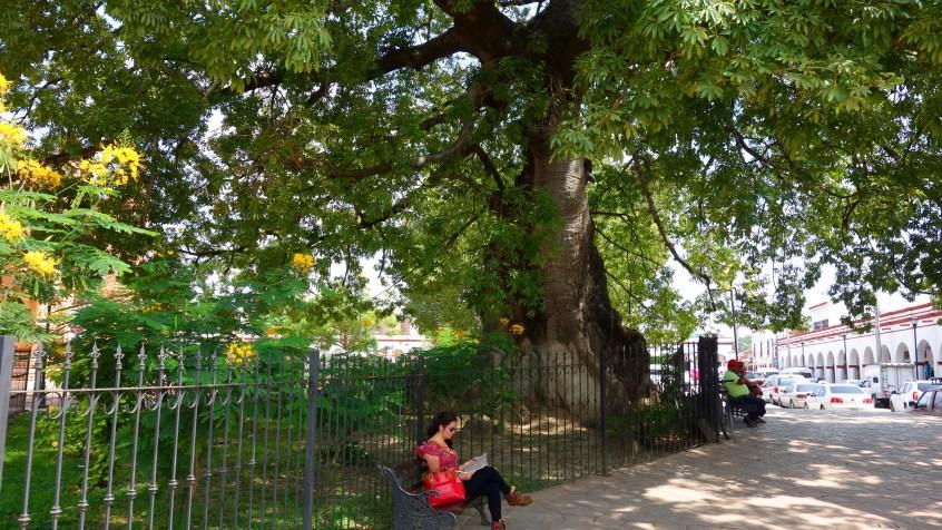 San Cristobal, Chiapa De Corzo: Um diesen Jahrhunderte alten Baum zu schützen wurde wegen seiner Wurzeln extra der Bürgersteig angehoben