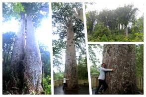 Coromandel, The 309 Road: Riesige Kauri Bäume im Kauri Cove Park