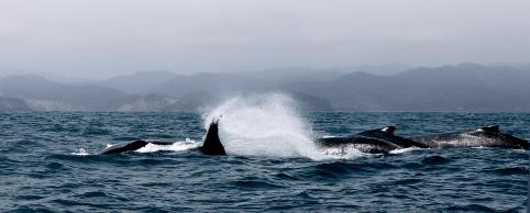 Eine ganze Gruppe Buckelwale - welch ein Anblick