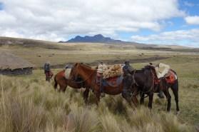 Cotopaxi Nationalpark - Auch die Pferde geniessen die Pause
