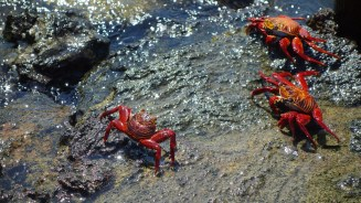 Galápagos, Santa Isabela, Tintoreros: Rote Klippenkrabben