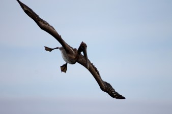 Galápagos, Santa Isabela, El Muro de las Lágrimas, the wall of tears, Mauer der Tränen: Achtung Pelikan im Landeanflug. Schaut zwar unbeholfen aus, ist aber ein recht erfolgreicher Jäger