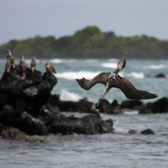 Galápagos, Santa Isabela, El Muro de las Lágrimas, the wall of tears, Mauer der Tränen: Ein Blaufusstoelpel im wagemutigen Sturzflug um Fische zu-jagen