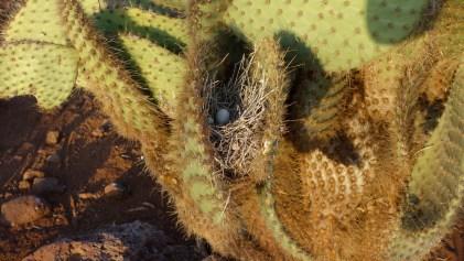 Galapagos, La Pinta, North Seymour: Mocking Bird Nest im Kaktus