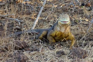 Galapagos, La Pinta, North Seymour: Unser erster Land-Iguana