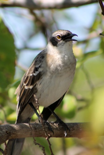 Galápagos, Urbina Bay: Eine Spottdrossel (Mocking Bird)