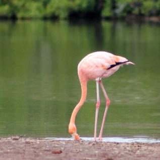 Galápagos, Rábida: Ein Flamingo bei der Futtersuche im Schlick des Ufers