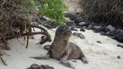 Galápagos, Santa Fe: Seelöwen-Baby wartet auf die Rückkehr seiner Mami