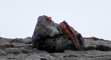 Galápagos, Isla Floreana, Post Office Bay: Auch ein schöner Rücken kann entzücken, denn einen roten Marine Iguana bekommt man nicht oft zu sehen. Da gibt man sich auch schon mal mit einer Rückenansicht zufrieden