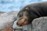 Galápagos, SouthPlaza: Ein wohlverdientes Schläfchen macht fit für die Nacht