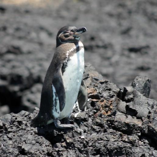 Galápagos, Santa Isabela, Los Tintoreros: Auch Pinguine lieben ein Sonnenbad