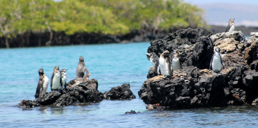 Galápagos, Santa Isabela, Los Tintoreros: Galápagos-Pinguine, die Einwanderer vom Südpol