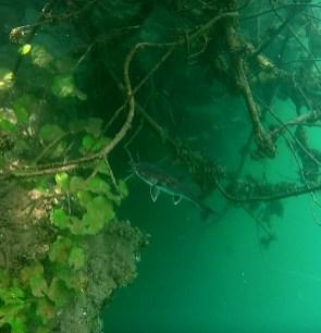 Mexiko, Laguna Bacalar: Schnorcheln mit Catfish in der Cenote