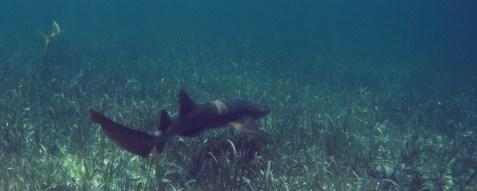 Belize Barrier Reef, Shark & Ray Alley: Ammenhaie in der Shark & Rai Alley