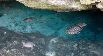 Mexiko, Tulum, Cenoten Tauchen: Schildkröten in der Gran Cenote