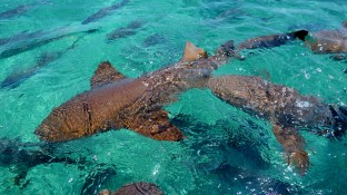 Belize Barrier Reef, Shark & Ray Alley: Ammenhaie in der Shark & Rai Alley