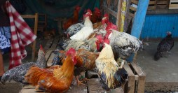San Cristobal: Lebende Hühner auf dem Mercado Central