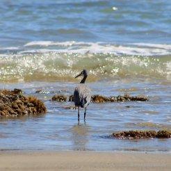 Cape Kidnapper, Black Reef: Auch der Blue Heron (Graureiher) findet hier reiche Beute