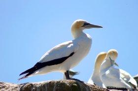 Cape Kidnapper, Black Reef: Ein Gannet in Pose