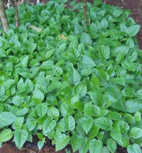 tree tomato certified seedlings