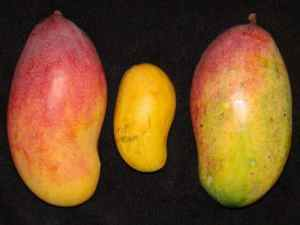 Mango Farming in Kenya