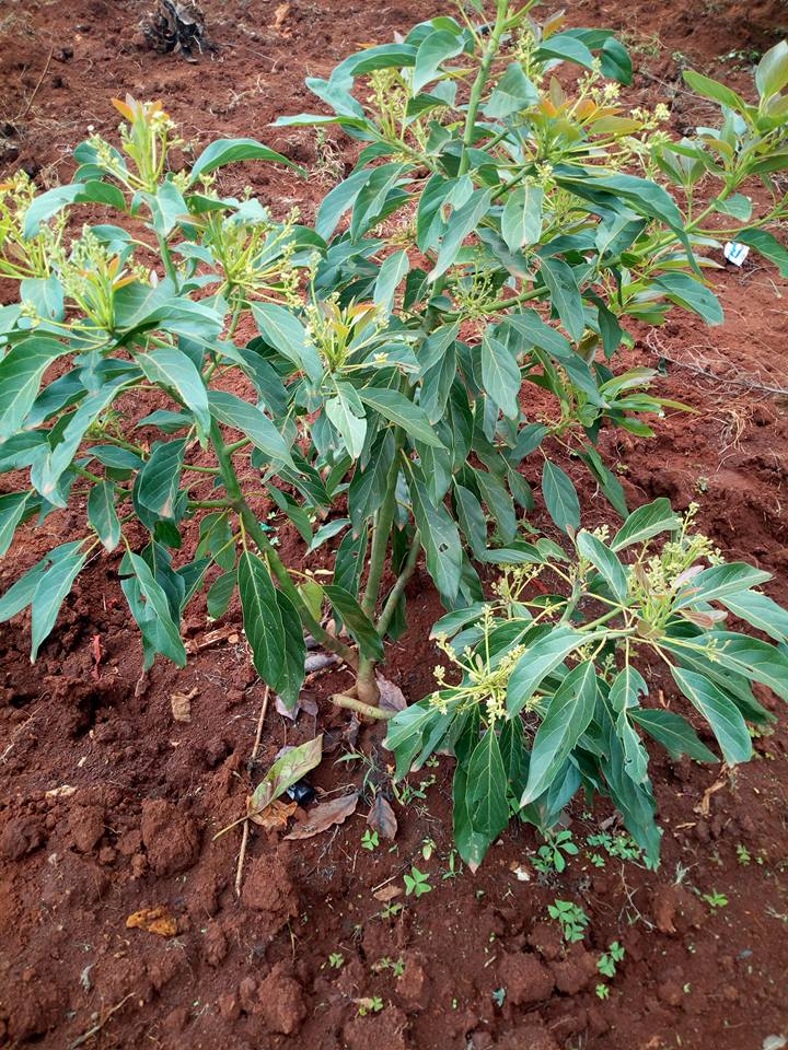 areas suitable to grow hass avocado in kenya Archives - Oxfarm