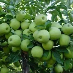 apple fruits grown in Kenya