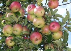 5 Reasons Why you are Failing in Apple Farming