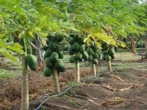papaya drip irrigation