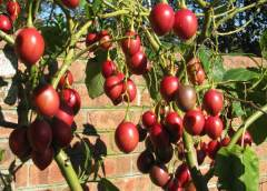 Tips on how to get over 20Kgs/Tree from Tree-tomato