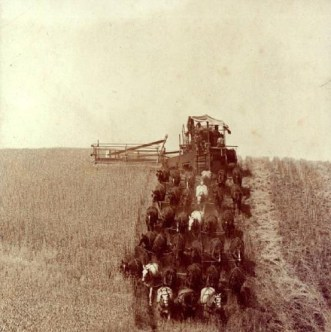 33-horse hitch harvesting wheat