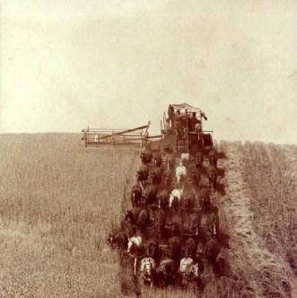 33-horse hitch harvesting wheat