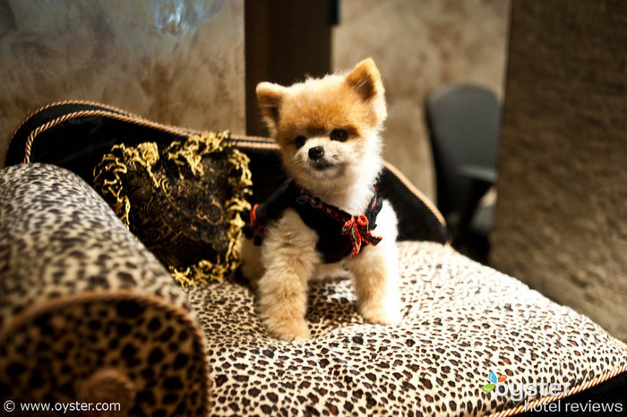 Ginger, the teacup Pomeranian that serves as the Muse hotel's