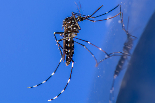 The tiger mosquito carries yellow fever, dengue, and chinkungunya -- what a pal!; Photo credit: Eric Stavale