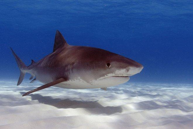 Tiger shark image courtesy of Oregon State University via Flickr