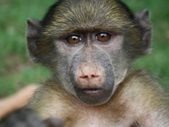 Volunteer monkey south africa