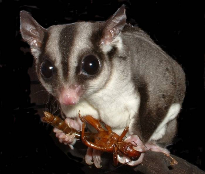 Sugar Glider eating a grasshopper