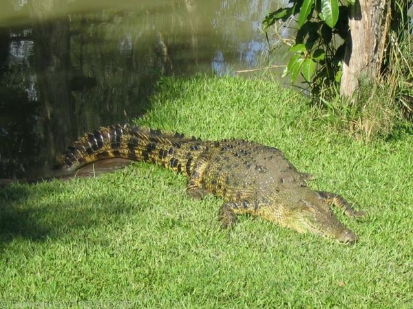 Saltwater Crocodile | Crocodylus porosus photo