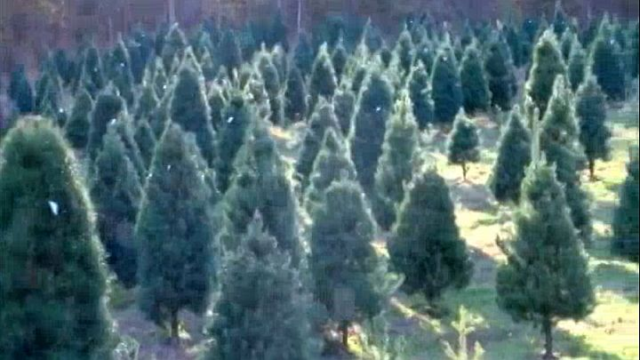Christmas tree farm_1480002882794.jpg