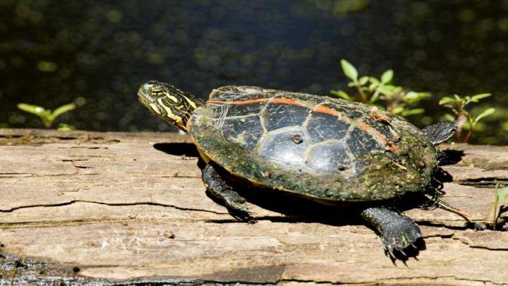 southern_painted_turtle_10-28-11_1492967659563.jpg